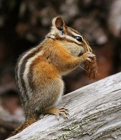 Chipmunk, I will get you one day. Haven't seen you around lately, but with spring coming I know you will be back and I will be ready for you!