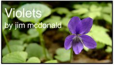 Do you have a dry constitution? Wondering how you can use violets as a medicinal herb? Check out this post by herbalist jim mcdonald.