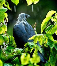 rain-soaked crow