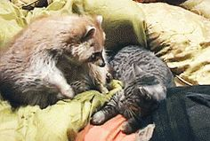 And snuggle in bed.   Community Post: 23 Reasons Raccoons Are Actually The Worst