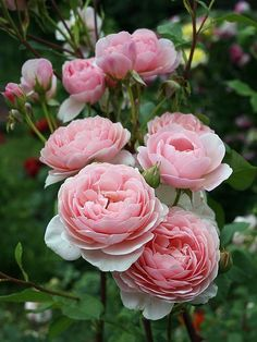 'William Morris' | Shrub. English Rose Collection. Austin 1988| @ Oliver