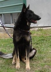 SUCCESS:  ADOPTED!!!  Bonnie (Foster) is an adopted German Shepherd Dog Dog in Baton Rouge, LA. Bonnie is now in foster care. �To meet her please contact her foster mom, Stacie, at sroberson13@yahoo.com. Bonnie is a gorgeo...