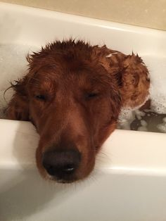 Golden retriever bath time