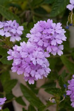 10 Plants That Beat the Summer Heat: Verbena