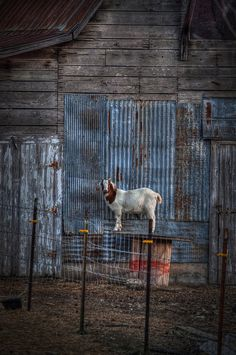goat barn by dianabog , via Flickr