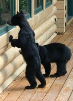 Curious young bears