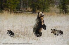 Grizzly Bears Keep Threatened Status Until 2014