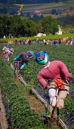 Scarecrows amonst the strawberry fields of Mooiberge, Stellenbosch, Western Cape, South Africa. I had a brief glimpse of these in November when we drove by! Very eye catching! Out Of Africa, Cape Town, Wonders Of The World, Places To See, South Africa, Westerns, Scenery, Pretoria, Adventure