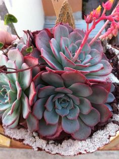 echeveria secunda azulita Plants, Cactus Garden Landscaping, Miniature Plants, Succulent Garden Diy, Succulent Terrarium, Beautiful Flowers, Succulents, House Plants, Cactus Plants