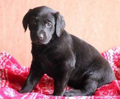 Spike   Doberman Pinscher Mix, Lab Mix Puppy For Sale   Keystone Puppies Doberman Puppy Red, Red Doberman Pinscher, Lab Mix Puppies, Puppies For Sale, Puppy Finder, Buy A Dog, Labrador Retriever, Children, Dogs