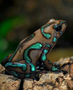 Camouflage poison dart frog.