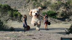 Questione di prospettiva: una vita da cani giganti