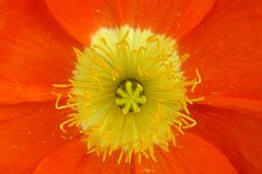 Coeur de pavot orange
