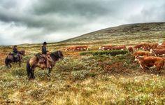 Cattle Drive with Sulseter Rideleir: www.sulseter.no/kvegdrift  #kvegdrift #cattledrive #horses #cattle