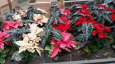 $49.95 Christmas planter
