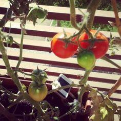 Como plantar tomates Vegetables, Tomato Plants, Plant Decor, Vegetables Garden, Gardens, Flowers, Tomatoes, Vegetable Recipes