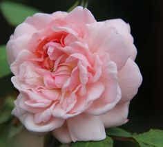 Rosa 'Eglantyne' (David Austin English Shrub Rose)