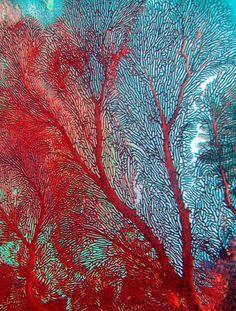 https://flic.kr/p/4TxuFB | Red Coral Seafan | Digital image Red Coral in Fiji taken by Jill Ehring