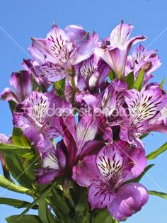 Purple Alstromeria Bouquet the flower I want in my tattoo