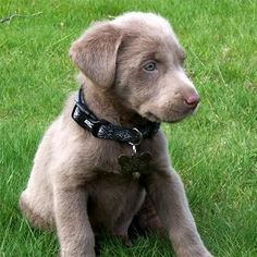 silver lab/retriever pub adorable