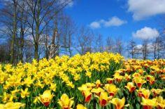Тюльпаны и нарциссы — оранжево-золотистая буря весны.