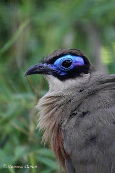 Giant Coua (Coua gigas) Portrait of the adult bird. Madagascar