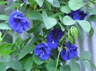 CLITORIA ternatea  DOUBLE Blue Butterfly Pea Vine~Beautiful~5 Seeds ~ RARE FIND on eBay for $1.95