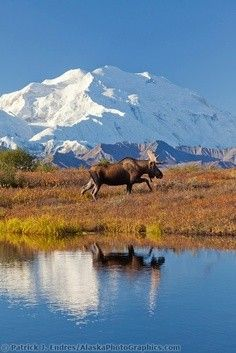 Bull moose reflection in a small kettle pond with the summit of Mt McKinley in the distance, Denali National Park, Alaska.