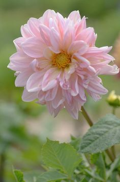 """Dahlia, """"Fairway Pilot"""" (very large blooms; can also be grown in pots)"""
