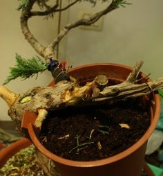 Approach Grafting Article (Junipers) + 3mo progression link at bottom of page