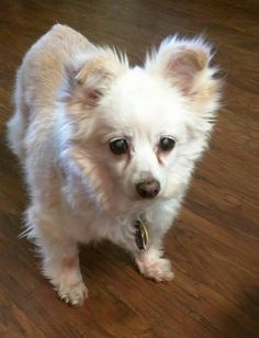 7/10/16 SL!! Ozzie is an adoptable Pomeranian searching for a forever family near Norman, OK. Use Petfinder to find adoptable pets in your area.
