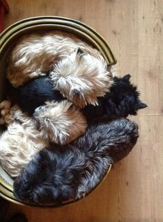 A basket of Cairn Terrier puppies Cairns, Cairn Terrier Puppies, Terrier Mix, Cute Puppies, Cute Dogs, Dogs And Puppies, Westies, Animals And Pets, Cute Animals