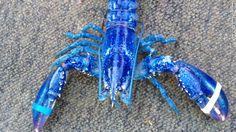 Rare Blue Lobster