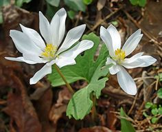 'Spring wildflower season is here!  Bloodroot, spring beauties, seersucker sedge, and sharp-lobed hepaticas (see cover photo above) are beginning to bloom in abundance at low elevation. Star chick weed, dutchmans breeches, rue anemone, violets, and many others are getting started. Good places to see these earliest wildflowers over the next few weeks are: Little River Trail, Chestnut Top Trail, and Porters Creek Trail in Tennessee; and Oconaluftee River Trail, Mingus Creek Trail, and Deep…