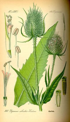 Dipsacus - weed with opposite leaves that form cups and have sharp spikes