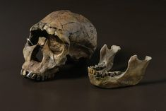 'Turkana Boy' Homo ergaster skull (Photo by Stuart Humphreys). Homo ergaster was the first of our ancestors to look more like modern humans. - See more at: http://australianmuseum.net.au/Homo-ergaster#sthash.5kHHHKL8.dpuf