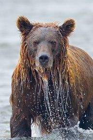Here is an impressive stare down by a very large, very wet #Katmai brown bear. It's one of my favorites, not only because of the eye-to-eye glare, but the streaming water droplets as he/she just emerges from the river. #Alaska