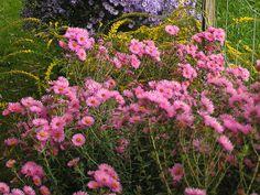echter lavendel 39 peter pan 39 lavandula angustifolia in einer formidablen kies steppe im britzer. Black Bedroom Furniture Sets. Home Design Ideas