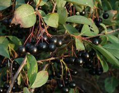 Aronia Berries: The Local Acai Berry Alternative. Includes recipe for syrup.