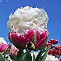 Тюльпан Рококо (Rococo): фото, описание и особенности | 200x200