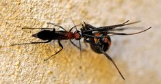"""First record of a Red Back Spider being attacked by a native Australian wasp, one of the very few predators of the spider. """"The wasp strikes the spider quickly and its venom causes permanent paralysis,"""" says Professor Andy Austin. Picture: Peter Irwin ++ Australian Geographic"""