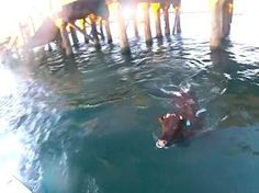 A cow destined for slaughter was being loaded onto a huge ship in Australia when she decided to jump for