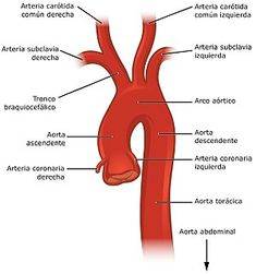 Circulatory Pathways - Anatomy and Physiology - OpenStax Subclavian Artery, Carotid Artery, Endocrine System, Circulatory System, Aorta Abdominal, Arteries Anatomy, Heart Anatomy, Arteries And Veins, Cardiac Nursing