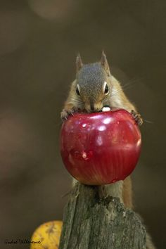 ~~An apple a day ... ~ squirrel by Andre Villeneuve~~