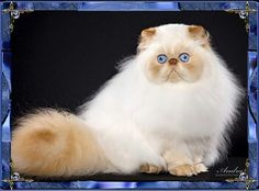 red point Himalayan