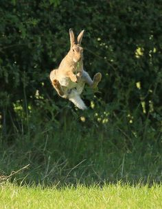 farmer caught the bunny eating from his field. Funny Bunnies, Cute Funny Animals, Cute Bunny, Beautiful Creatures, Animals Beautiful, Reptiles, Mammals, Animals And Pets, Baby Animals