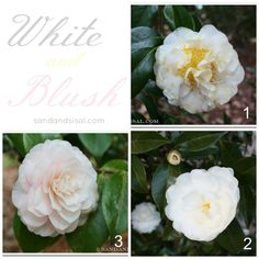 9 Must Have Camellias - Sand and Sisal Conservatory Plants, Evergreen Bush, White Camellia, Sisal, Garden Projects, Garden Inspiration, Gardening Tips, White Flowers, Must Haves