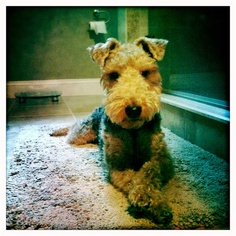 Penny the welsh terrier