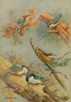Antique Nuthatch Bird Print (1930s Bird Art, Woodland Home Decor) No. 143-2