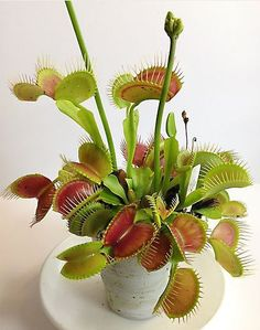 Venus Flytraps are very easy to grow. The more light they get, the more colorful they become. The less light, the less color, but they grow bigger. Peat moss, distilled water and warm temps are all that are needed. www.containerwatergardens.net/create-fascinating-carnivorous-terrarium/